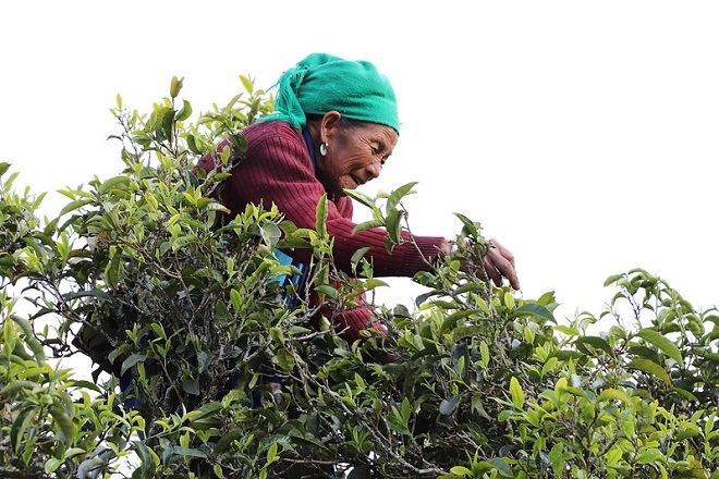 Сбор листьев для смолы пуэра