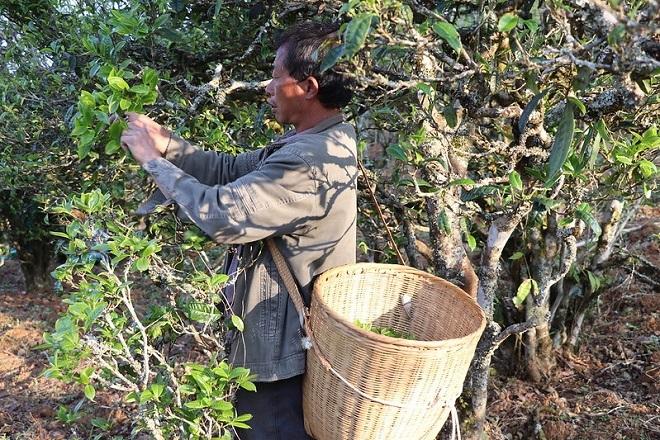 Происхождение чайного сырья