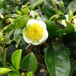 Чай – тонизирует организм, содержит антиоксиданты