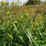 Трава череды трехраздельной снимает воспаление в ЖКТ, печени, селезенки