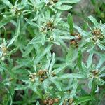 Трава сушеницы болотной (топяной) обладает антибактериальным и вяжущим эффектом, снимает воспаление, улучшает перистальтику кишечника, понижает давление