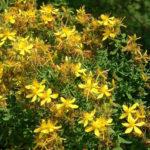 Цветущие стебли (верхушки) продырявленного зверобоя помогают пищеварению и оттоку желчи, дают спазмолитический эффект