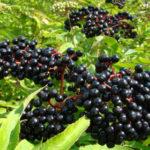 Черная бузина обладает обезболивающим эффектом, способствует нормализации процесса обмена веществ, а также позволяет избавить организм от шлаков и различных токсинов, в том числе и от никотина