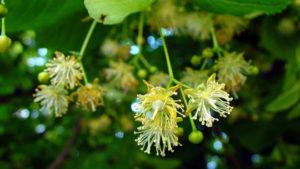 Цветки липы - нормализуют метаболизм, отвечают за улучшение кроветворения