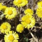 Мать-и-мачеха луговая - свойства данного растения помогают добиться отхаркивающего эффекта, что применимо при устранении последствий от хронических заболеваний легочной системы