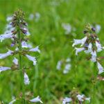 Пикульник - свойства именно этой травы позволяют отказаться от вредной привычки